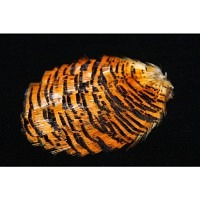 WAPSI Golden Pheasant Tippet Section Natural